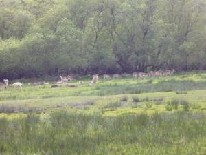 Red Deer at Bolderswood